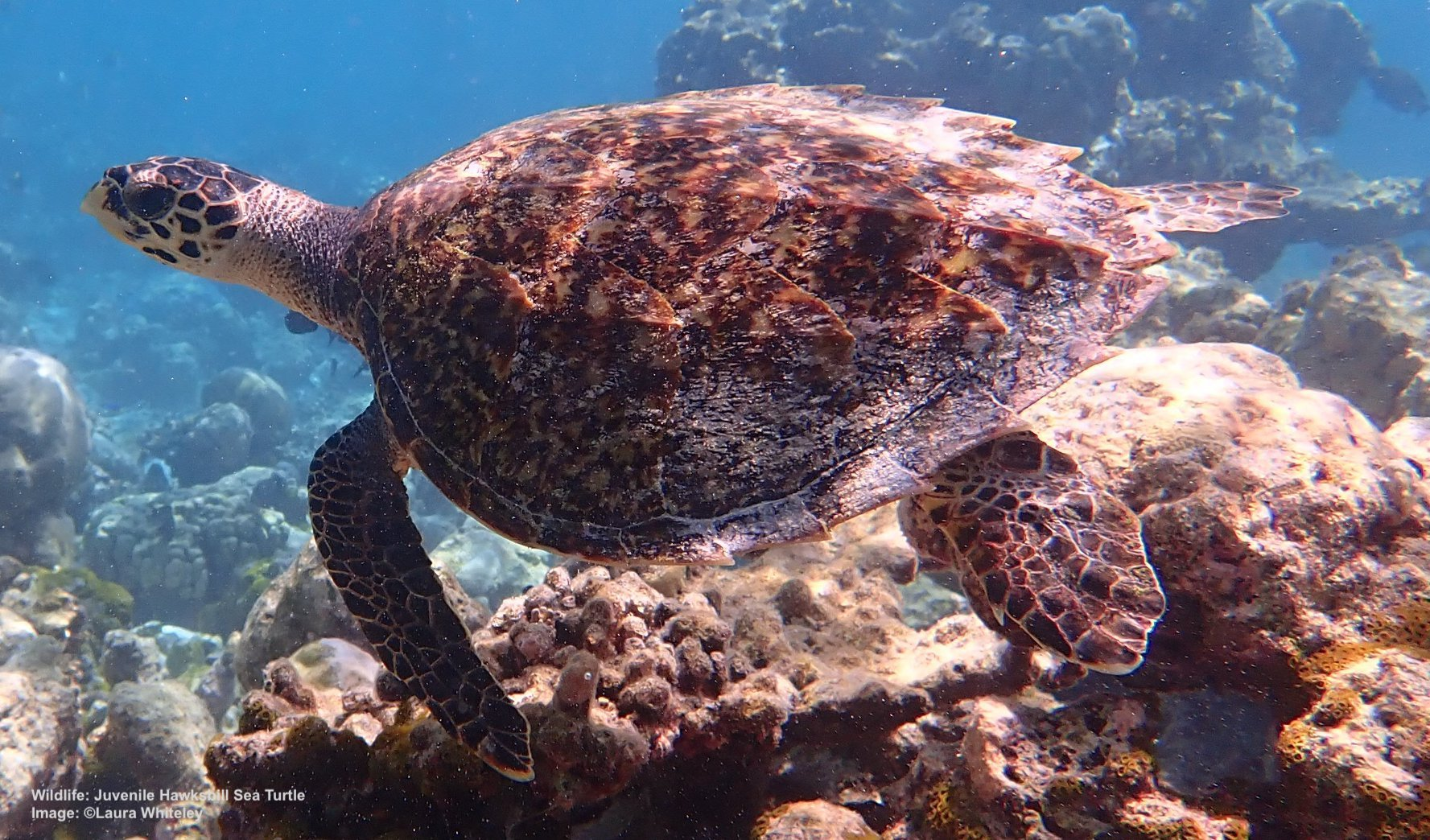 THE NATURAL BEAUTY OF THEIR SHELLS, MADE INTO JEWELRY AND TRINKETS, HAS DRIVEN THE HAWKSBILL SEA TURTLE TO A CRITICALLY ENDANGERED LISTING. IF IT LIVES, THIS JUVENILE  HAWKSBILL  WILL GROW TO ABOUT 70KG / 154 LBS. AND REACH SEXUAL MATURITY AT ABOUT 30 YEARS. IMAGE: LAURA WHITELEY, THANKS TO  THE OLIVE RIDLEY PROJECT
