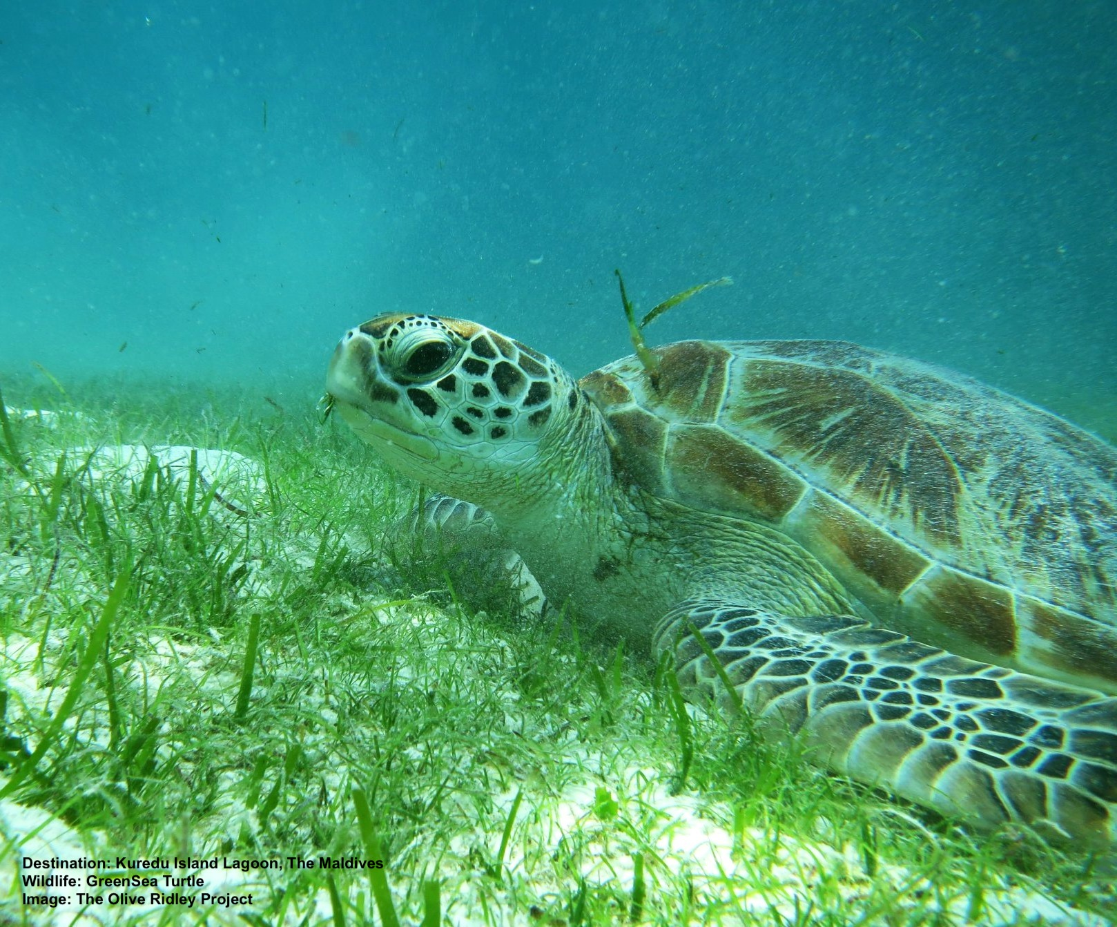 GRAZING SEA TURTLES, LIKE THIS GREEN SEA TURTLE, KEEP SEA GRASS BEDS HEALTHY. WHERE THE TURTLES HAVE DISAPPEARED THE AREA'S ECONOMY SUFFERS TURTLE-LESS SEA GRASS BEDS FORM ALGAE, FUNGI, SLIME MOLD AND OTHER TOURIST-DETRACTING ELEMENTS. IMAGE: KRISTINA LOOSEN, RESIDENT BIOLOGIST, LHAVIYANI ATOLL,  THE OLIVE RIDLEY PROJECT