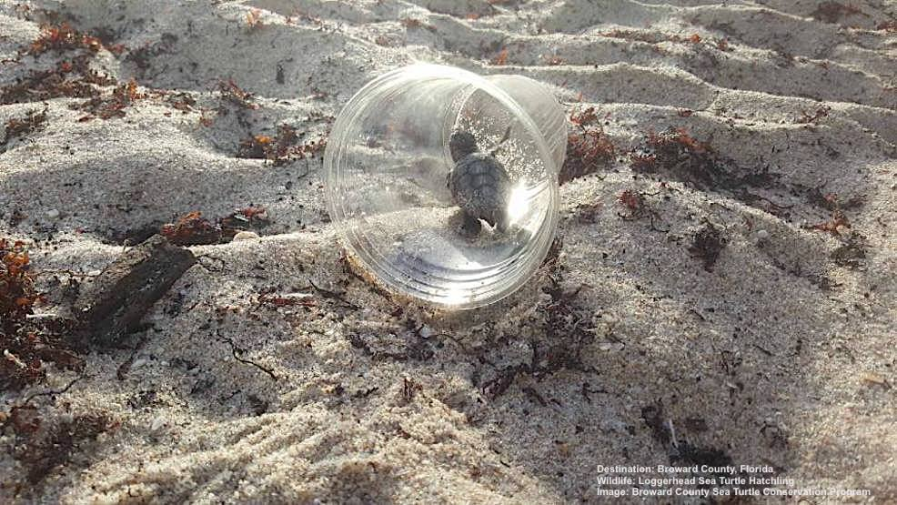 THE WORLD OF A SEA TURTLE HATCHINGS IS FILLED WITH DANGER. A SIMPLE CUP CARELESSLY LEFT ON A FORT LAUDERDALE, FLORIDA BEACH WOULD HAVE MEANT DEATH FOR THIS HATCHLING HAD IT NOT BEEN FOUND BY A VOLUNTEER FROM  BROWARD COUNTY SEA TURTLE CONSERVATION PROGRAM