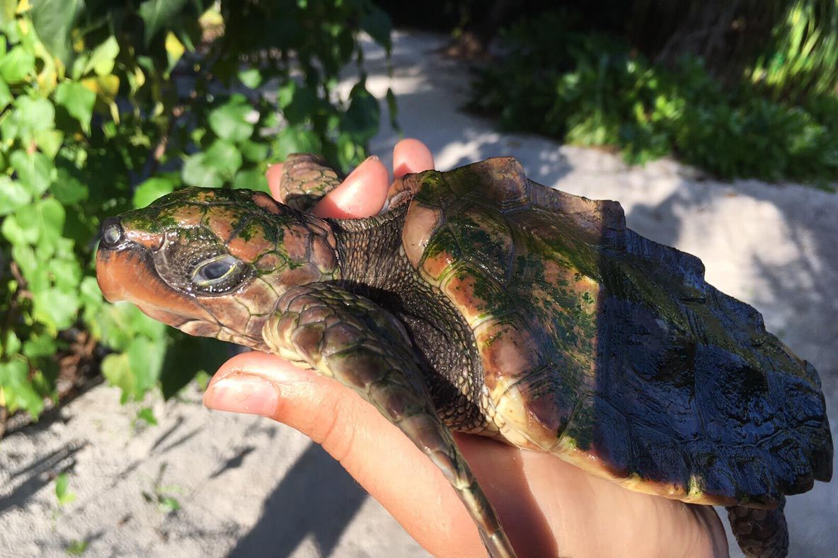 ENDANGERED LOGGERHEAD JUVENILE, AT ADULTHOOD IT WILL REACH UP TO 160KG/ 353 POUNDS. LOGGERHEADS, THOUGHT TO LIVE BETWEEN 47-67 YEARS, SPEND THEIR FIRST 7-12 YEARS IN OPEN WATER FINDING THEIR WAY TO FLOATING MATTS, USUALLY SARGASSUM. ADULT DIVES HAVE BEEN RECORDED AT OVER 7 HOURS, ONE OF THE LONGEST OF ANY MARINE VERTEBRATE. IMAGE:  THE OLIVE RIDLEY PROJECT