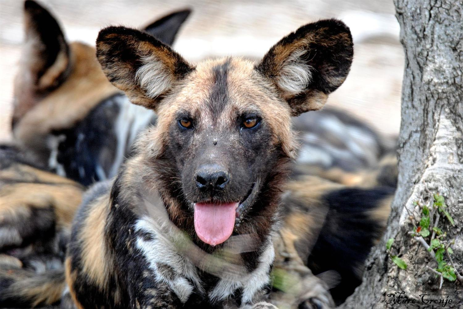 Wildlife Field Guide: African Painted or Wild Dog