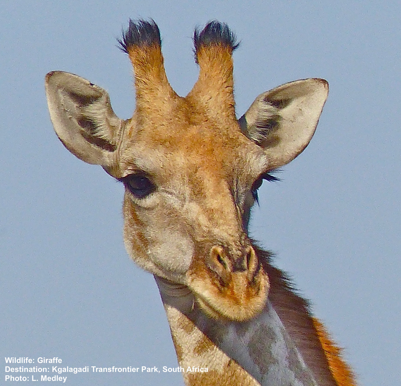 Wildlife Field Guide: Giraffe