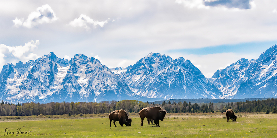 ICONIC BISON GRAZING AT YELLOWSTONE NATIONAL. IMAGE:  © JIM FENNESSY FROM    MY 7 DAYS PHOTOGRAPHING THE MOST MAJESTIC PARKS IN AMERICA