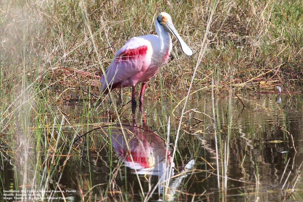 BIG CYPRUS NATIONAL PRESERVE IS A FABULOUS PLACE FOR BIRDWATCHING WITH THIS ROSEAT SPOONBILL AND 200 PLUS SPECIES OF WADERS, SONGBIRDS, RAPTORS AND OTHERS CALLING IT HOME. IMAGE: THANKS TO BIG CYPRUS NATIONAL PRESERVE FROM:    THE AMAZING WILDLIFE OF EVERGLADES CITY.