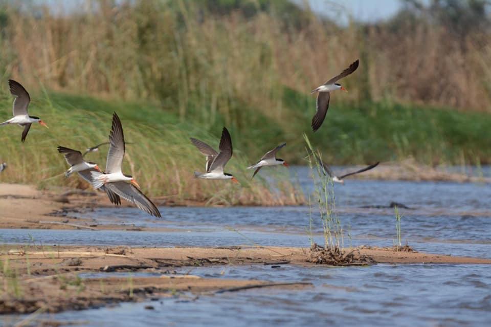 NTB Skimmers, African Namibia 48389257_635817623501717_4522810981725765632_n.jpg