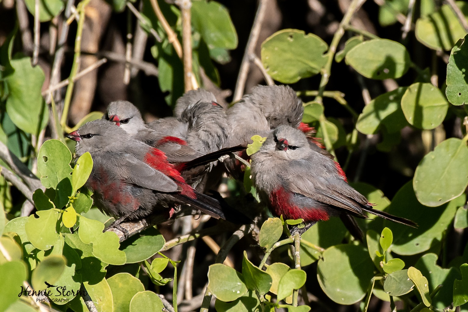 A VISIT TO TE WILD BEAUTY OF THE KUNENE RIVER VALLEY IS YOUR BEST CHANCE TO SEE SPECIES LIKE THE CINDERELLA WAXBILL, A RARE BIRD FOUND MOSTLY IN ANGOLA. IMAGE:  ©HENNIE STORM