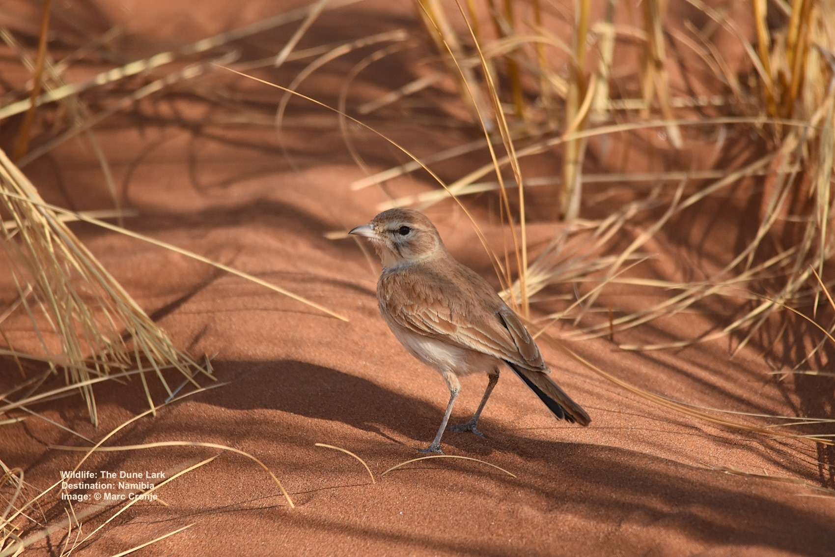 DUNE LARK. THIS UNASSUMING LITTLE BIRD IS ONE TOUGH CHARACTER WHOSE SURVIVAL IN THE NAMIB DESERT REQUIRED SOME UNUSUAL ADAPTATIONS. IMAGE:  ©MARC CRONJE
