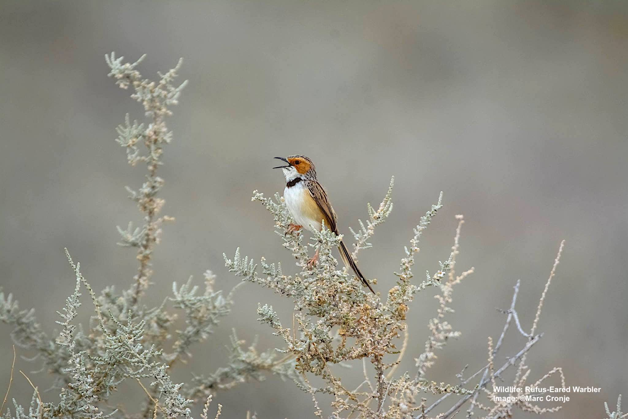 Rufus-Eared Warbler