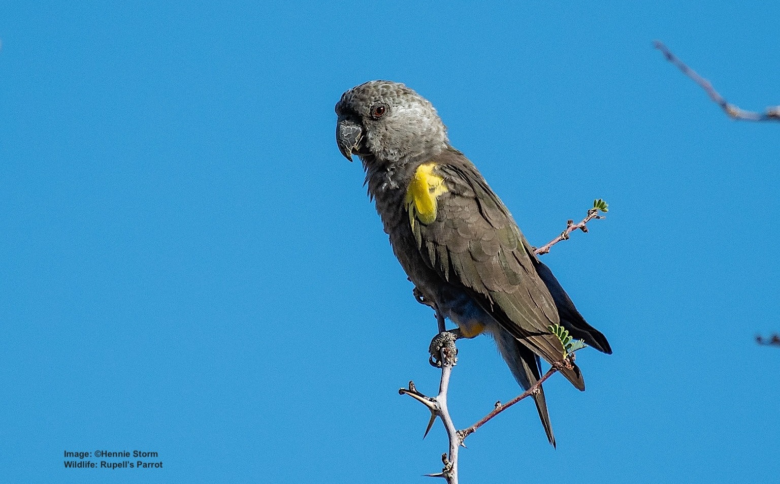 SURVIVAL CHALLENGES FOR RUPPELLS PARROT INCLUDE TRAFFICKING FOR THE ILLEGAL PET TRADE AND HABITAT LOSS. NOW, DROUGHT AGGRAVATED BY CLIMATE CHANGE MAYBE LIMITING THEIR BREEDING. IMAGE:   ©HENNIE STORM