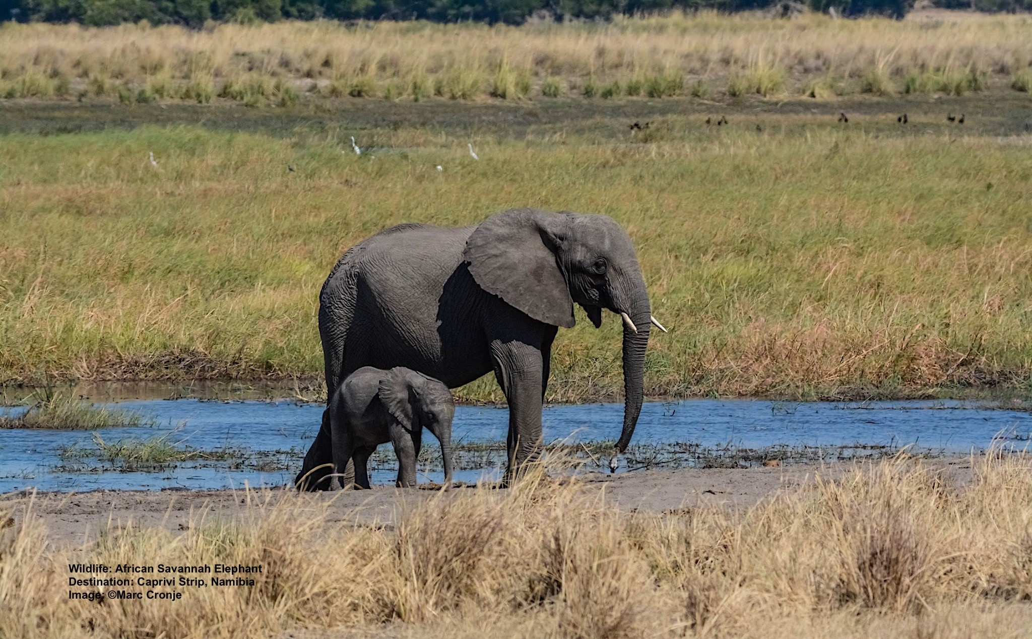CAPRIVI'S LUSH OKAVANGO DELTA IS LOVED BY ELEPHANTS AND HIPPOS, TOO  IMAGE: ©MARC CRONJE