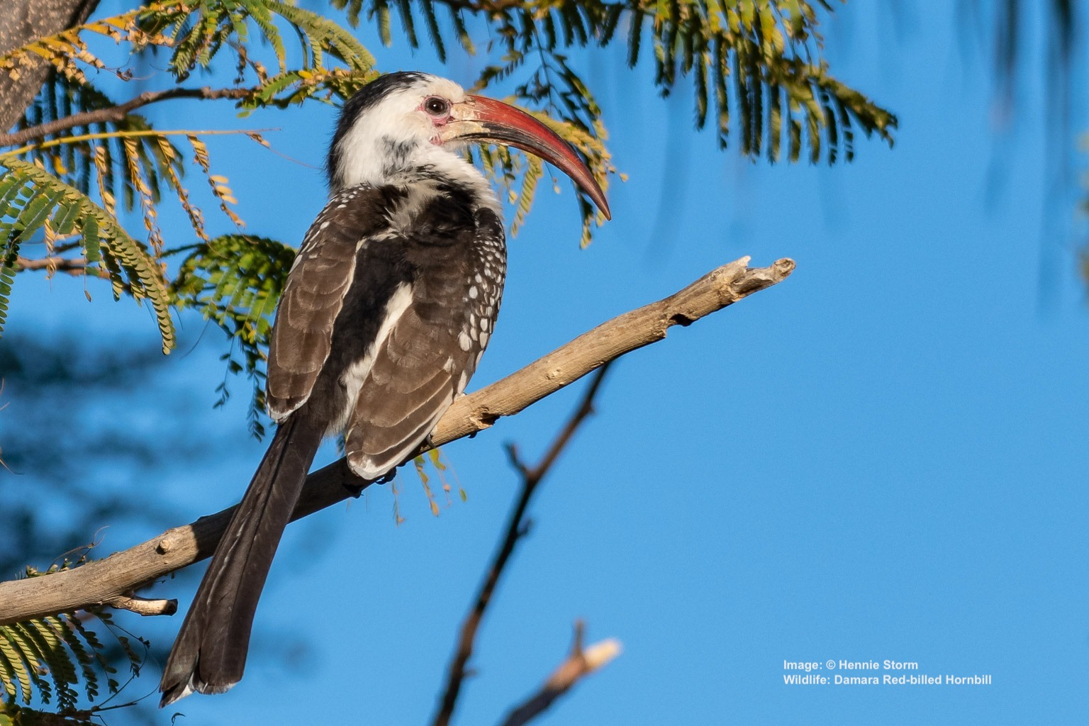 DAMARA RED-BILLED HORNBILL IS ALSO FOUND IN THIS AREA BUT THEIR RANGE EXTENDS IN A STRIP ACROSS THE DRIER REGIONS OF THE CONTINENT. IMAGE:  ©HENNIE STORM