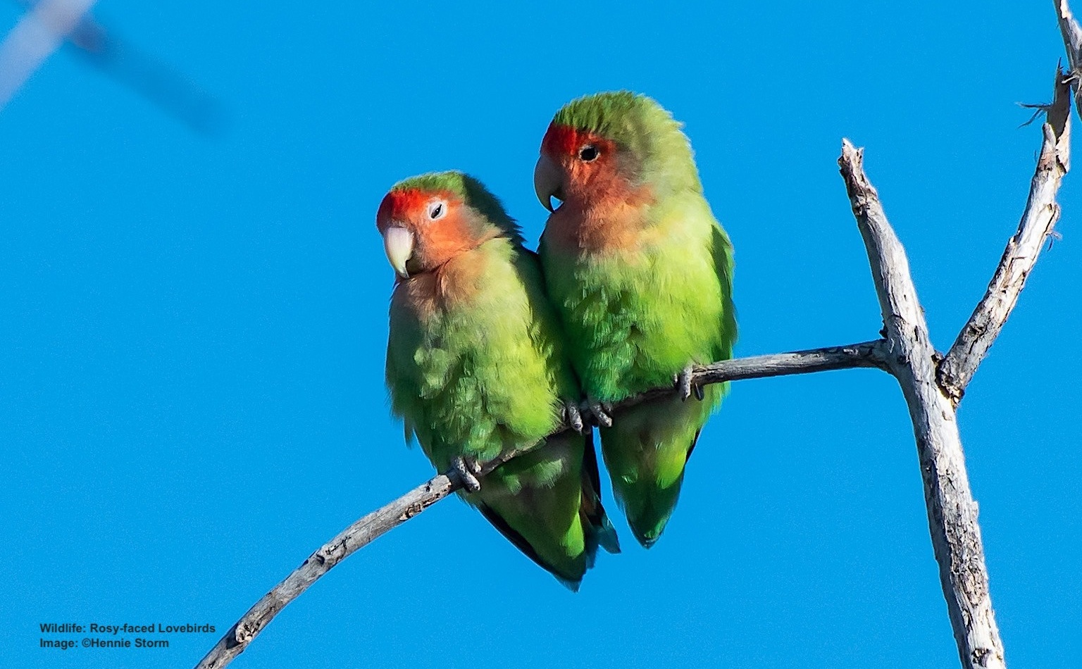 LOVE BIRDS LIVE UP TO THEIR NAME, PREFERRING TO LIVE IN FLOCKS, FEEDING EACH OTHER, CUDDLING, AND MATING FOR LIFE. IMAGE:  ©HENNIE STORM