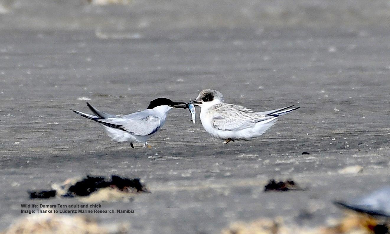 Damara Tern, Near Endemic (Adult, left, feeding chick, right)