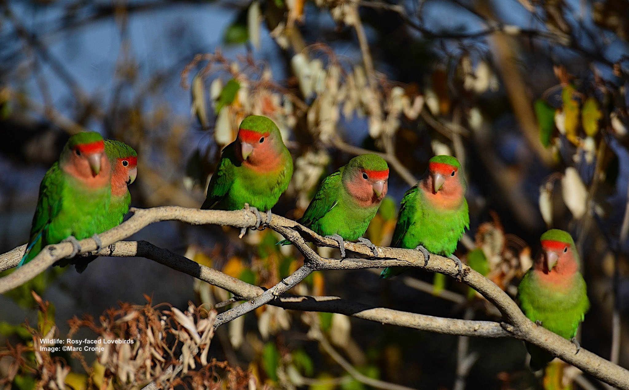 Marc-Cronje-Rosyfaced-Lovebird,birdwatching-Namibia.jpg