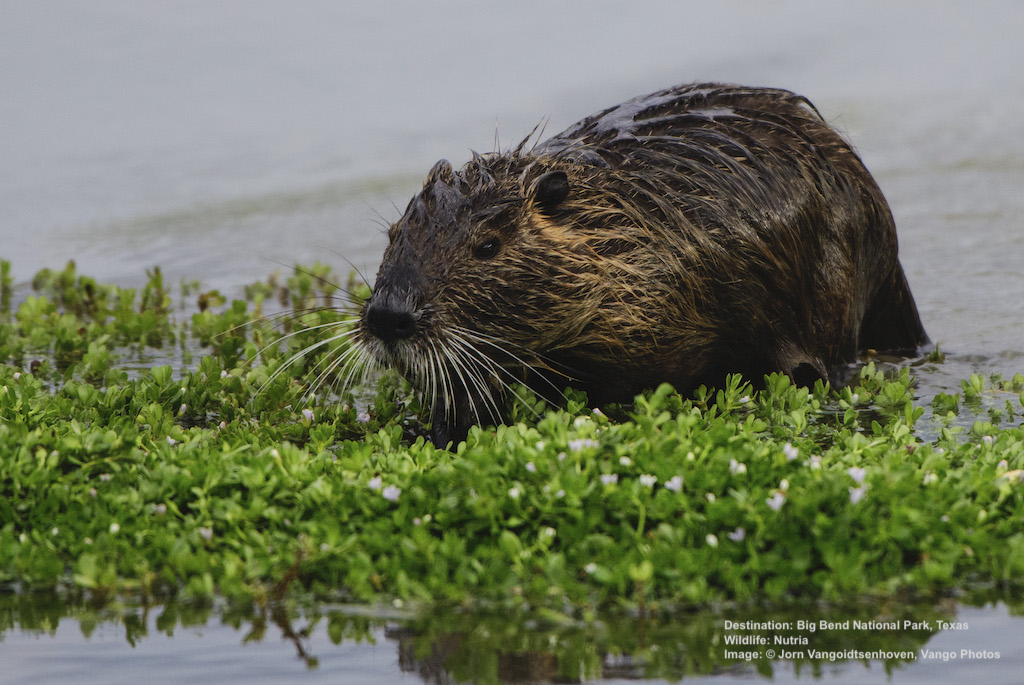 THE PONDS ARE TEEMING WITH BIRDS, SOME ONLY FOUND HERE, IN THE BOARDER COUNTRY BETWEEN ARIZONA AND NEW MEXICO, AND THEN THERE ARE THE NUTRIA. Image: © Jorn Vangoidtsenhoven, Vango Photos