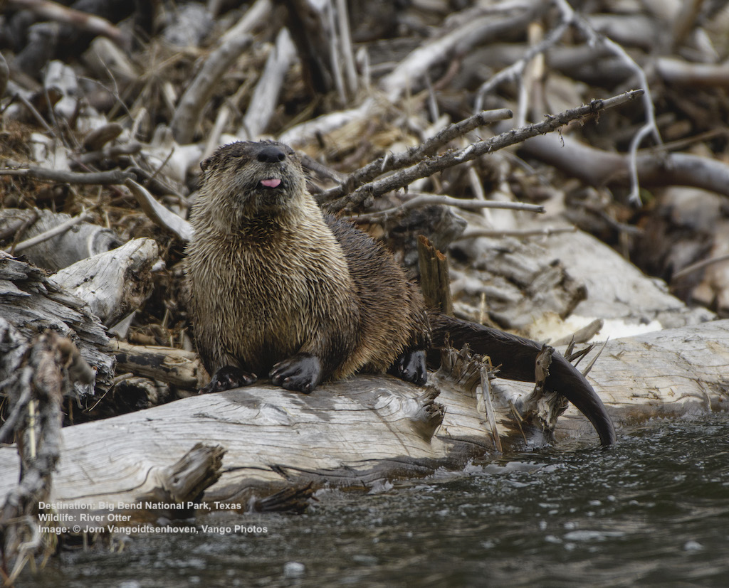 RIVER OTTER, LIKE THIS FRESH GUY, MAY UNEXPECTEDLY FIND THEMSELVES SHARING THEIR HABITAT WITH NUTRIA. Image: © Jorn Vangoidtsenhoven, Vango Photos