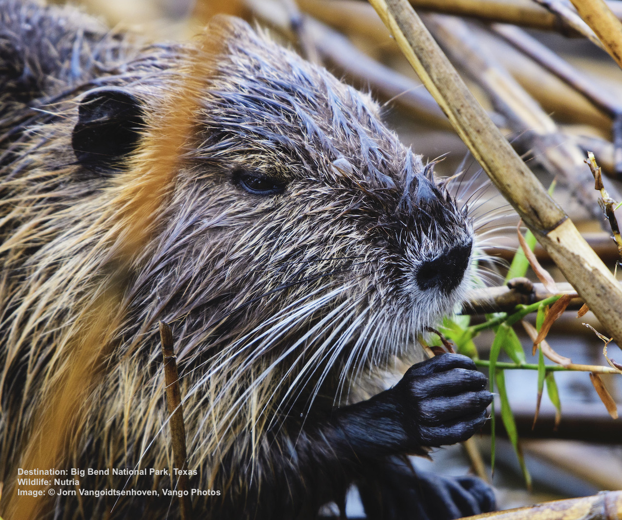 NUTRIA ARE SMALLER THAN BEAVERS AND HAVE A LONG SKINNY, NOT FLAT, TAIL. THEY EAT VEGETATION,INCLUDING THE ROOTS, NOT BARK. Image: © Jorn Vangoidtsenhoven, Vango Photos