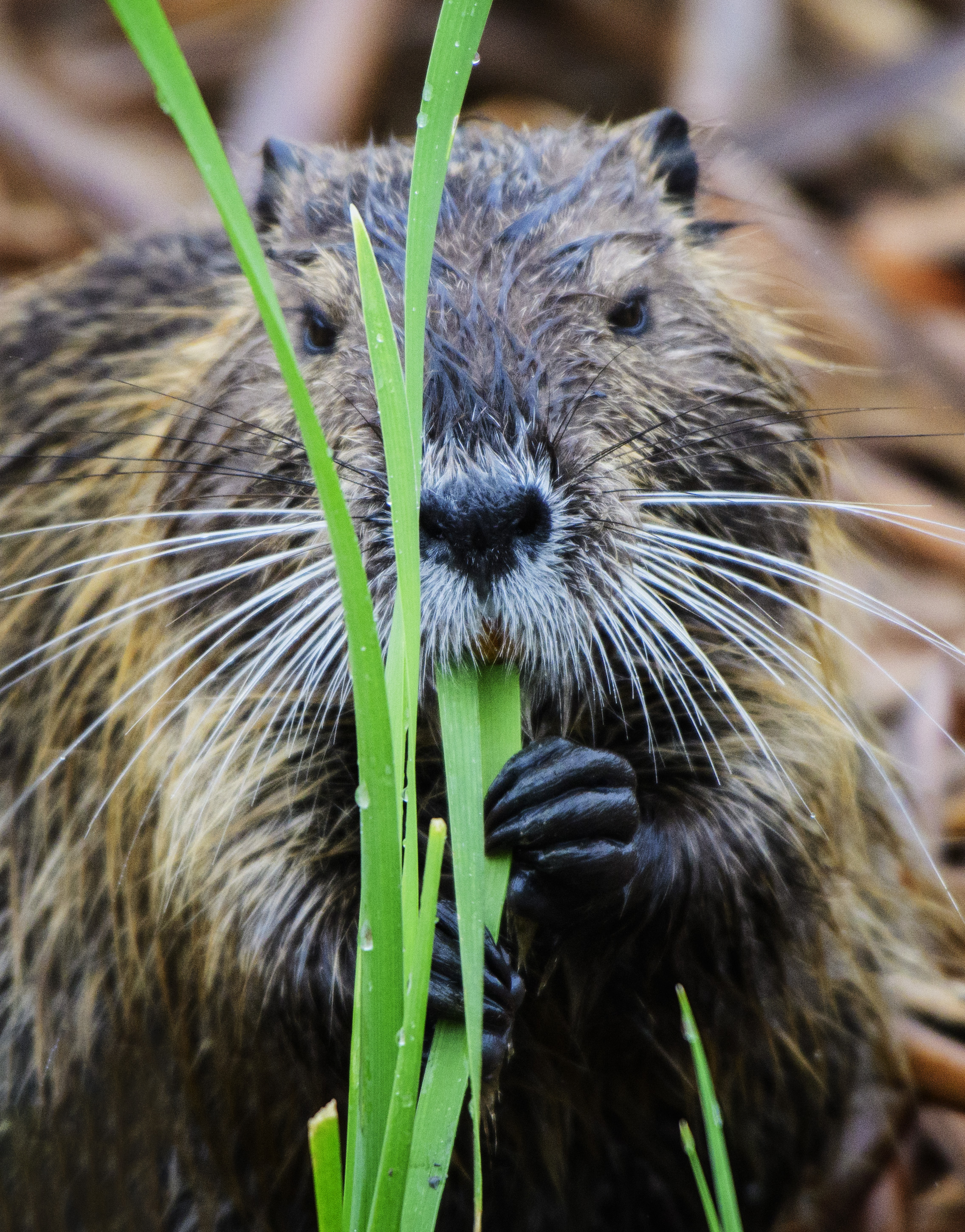 Running Wild! The Nutria Did Not Stay Captive for Long