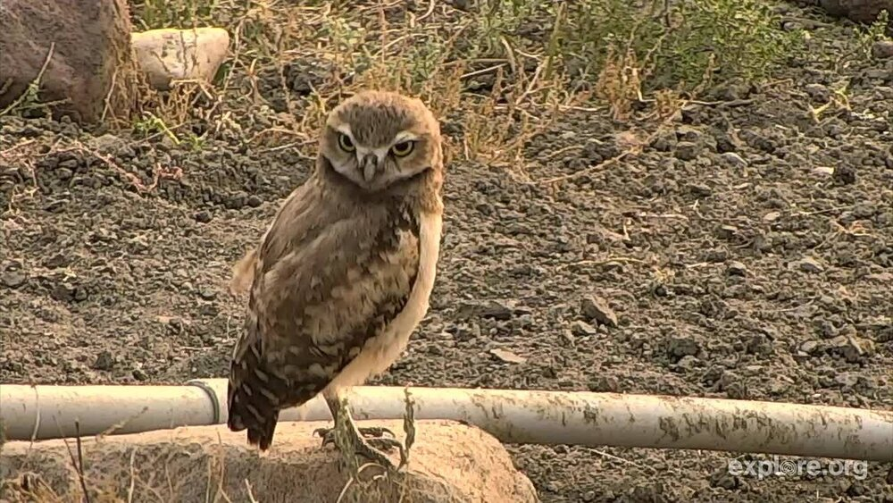 ONE OF THE ENDANGERED BURROWING OWLS THAT DECIDED TO NEST NEAR THE EXPLORE OWL-CAM AT GRASSLANDS NATIONAL PARK. IMAGE: THANKS TO GRASSLANDS NATIONAL PARK AND EXPLORE.ORG