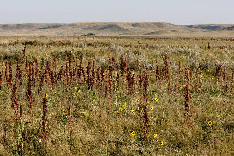 IMAGINE STANDING ON A ROUNDED RIDGE LOOKING OVER AN ENDLESS GRASSLAND PRAIRIE. IMAGE THROUGH THE GENEROSITY OF MARK SETH LENDER