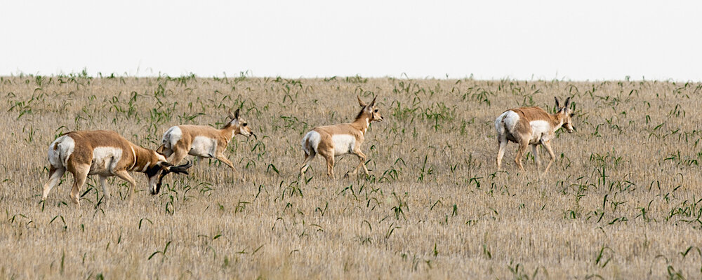 A PRONGHORN BUCK LOWERS HIS HEAD, SHOOING THE HERD ALONG. IMAGE THROUGH THE GENEROSITY OF ©MARK SETH LENDER