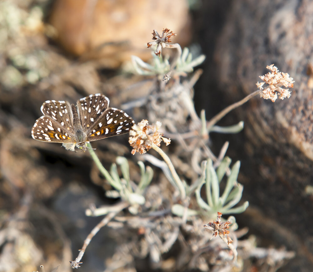 ONE OF THE RAREST BUTTERFLIES ON EARTH, THE ENDANGERED MORMON METALMARK IS RELATIVELY COMMON IN GRASSLANDS NATIONAL PARK. IMAGE THROUGH THE GENEROSITY OF ©MARK SETH LENDER.