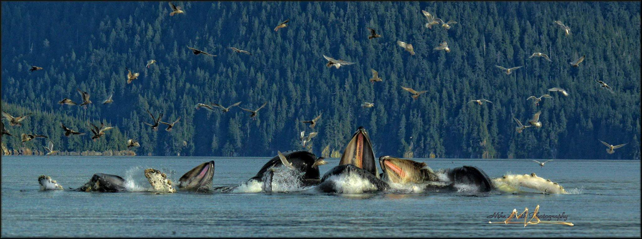 BUBBLE-NET FEEDING HUMPBACK WHALES IN THE WATERS BETWEEN PRINCE OF WALES ISLAND AND KETCHIKAN, ALASKA. IMAGE: THANKS TO ©MIKE SMITH