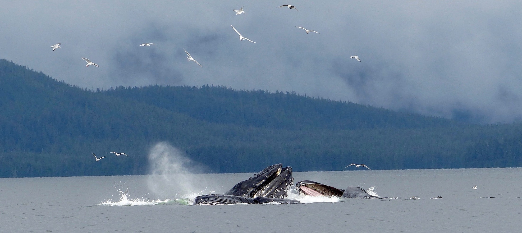 IN AN INSTANT THE WHALES BROKE THE SURFACE, MOUTHS FILLED WITH GREAT GULPS OF WATER AND FISH AND GULLS SQUACK ALL AROUND. IN THE CLARENCE STRAIT ON MY FORST DAY ON PRINCE OF WALES ISLAND, ALASKA. IMAGE: ©ROBERTA KRAVETTE
