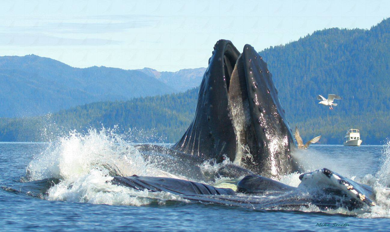 THIS IMAGE IS COURTESY OF ©MIKE SMITH WHO HAS FAR GREATER PRESENCE OF MIND (AND PHOTOGRAPHY EXPERTISE) WHEN IT COMES TO THE AMAZING SIGHT OF HUMPBACK WHALES BUBBLE-NET FEEDING! IMAGE: ©MIKE SMITH