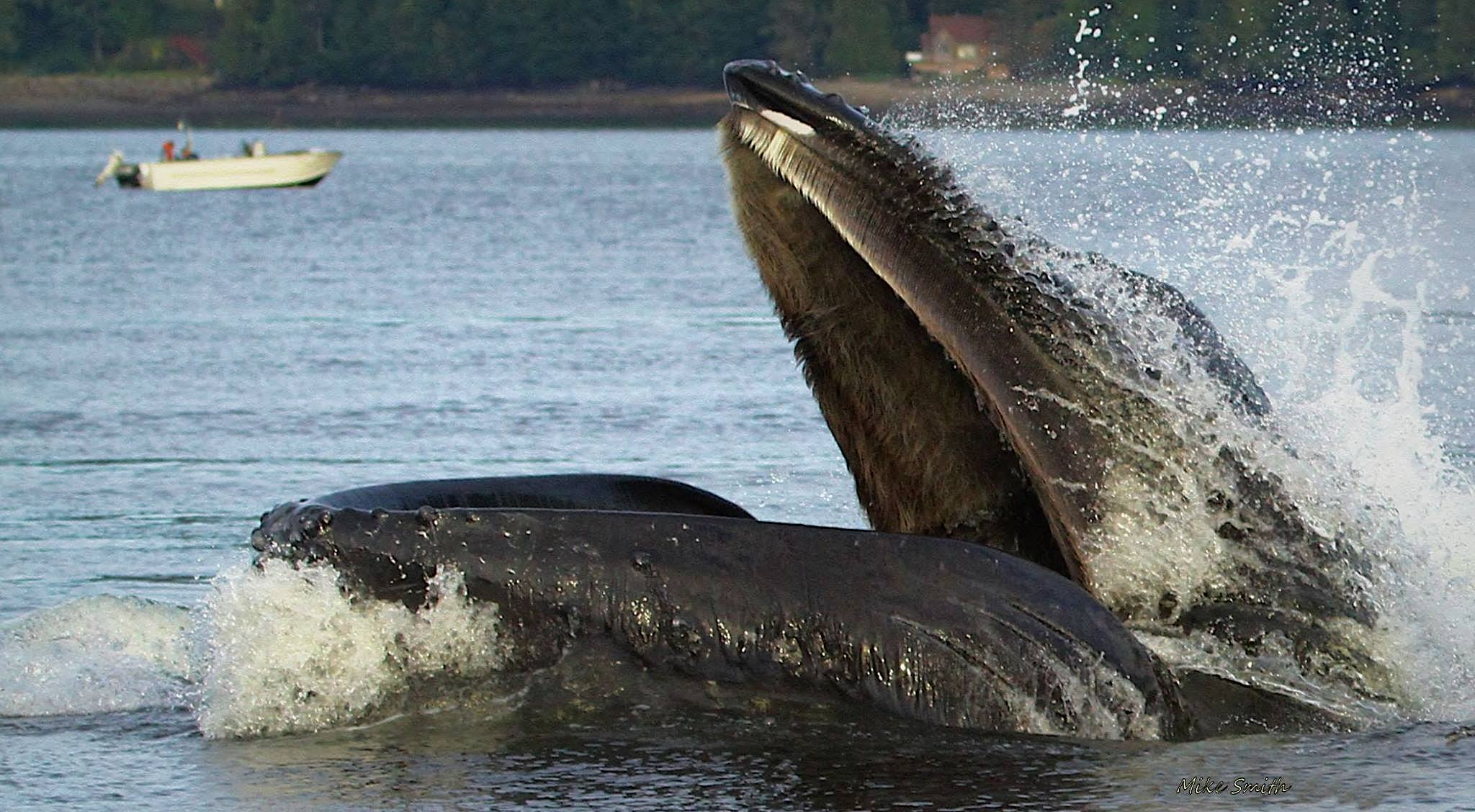 THE HUMPBACK WHALES MOUTH IS HUGE! NOTICE THE BALEEN PLATES, MADE OF KERATIN, SAME AS OUR FINGERNAILS. THESE PLATES STRAIN THE WATER OF PLANKTON, SMALL FISH AND KRILL SO THAT THE HUMPBACKS CAN FEED. IMAGE: ©MIKE SMITH