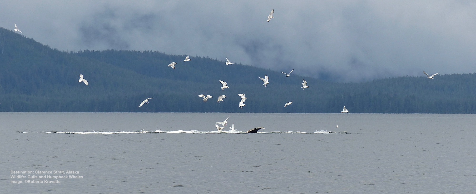 AS QUICKLY AS THEY APPEARED, THE WHALES WERE GONE LEAVING A MASS OF GULLS DIVING FOR LEFT-OVERS. IMAGE: ©ROBERTA KRAVETTE.