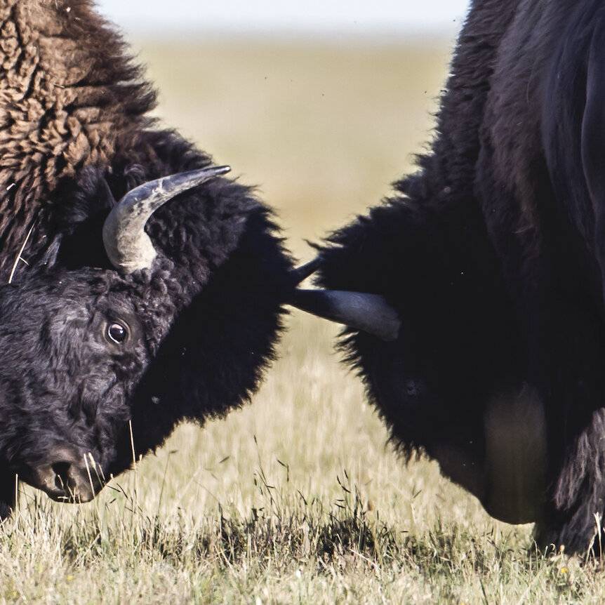 MARK-SETH-LENDER-BISON-GRASSLANDS-NATIONAL-PARK-SASKATCHEWAN-CANADA.jpg