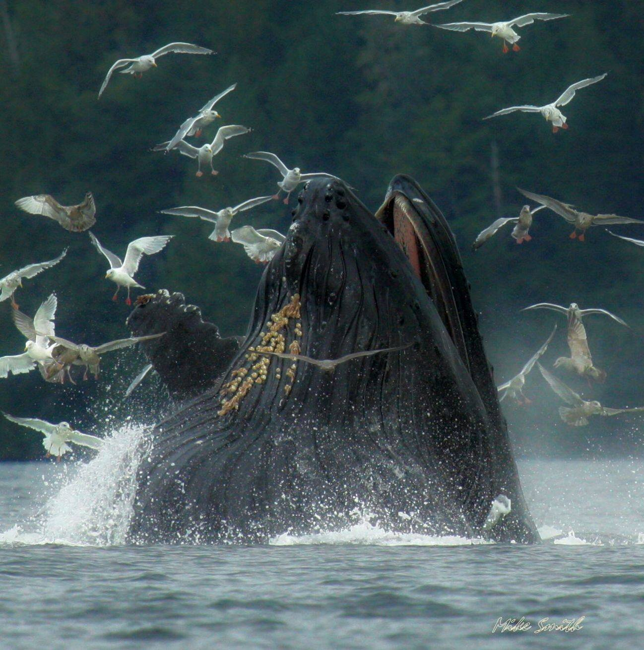 Humpback-whale-bubble-net-feeding-Mike-Smith-Alexander-Archipelago-Alaska.jpg