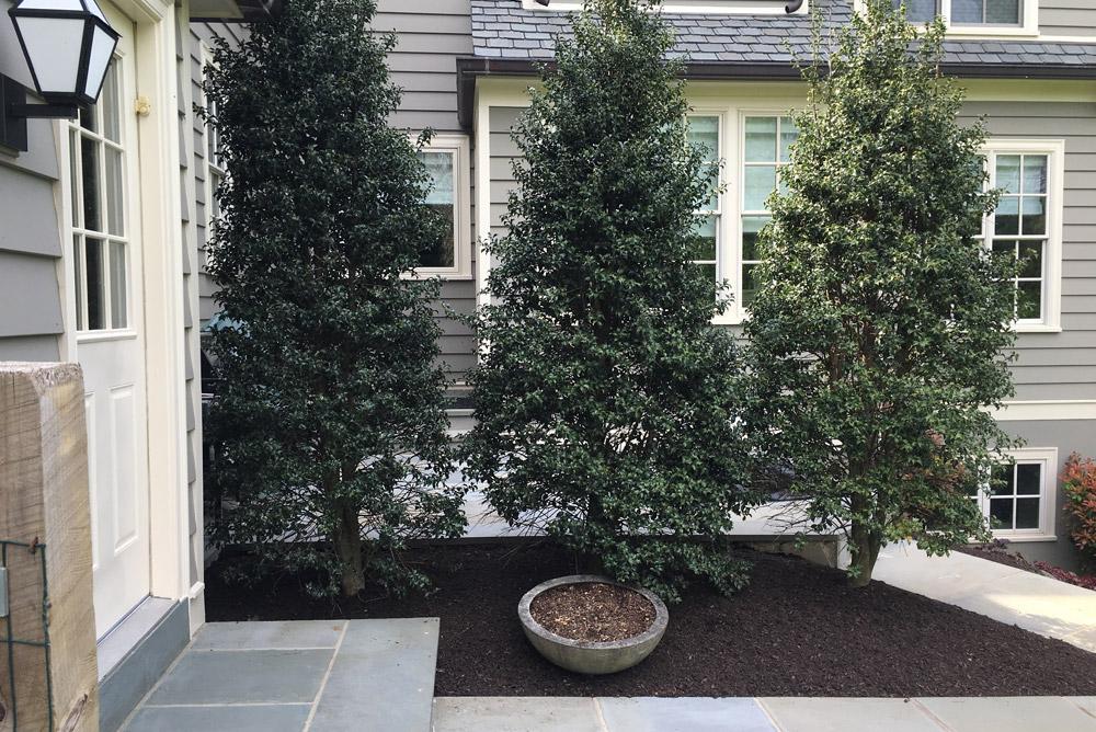 foundation-plants-shrubs-holly.jpg