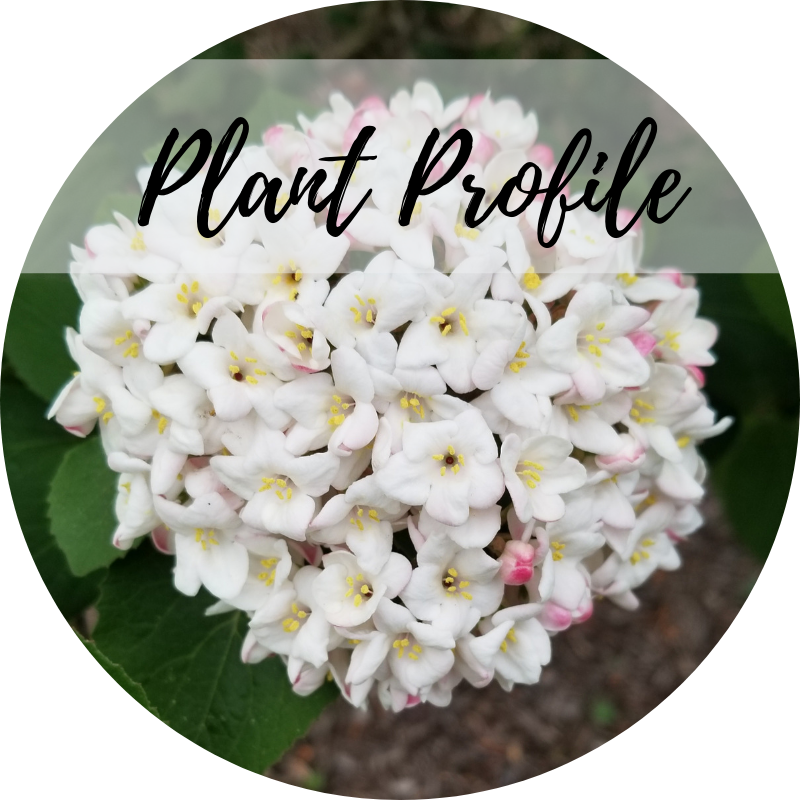Plant Profile - Viburnum x burkwoodii 'Mohawk'Burkwood viburnumNothing smells like spring like the scent of this viburnum. In mid-spring, the pink buds give way to dozens of small white blooms in a flat-topped cyme arrangement. The foliage is glossy and dark, and turns a lovely maroon color in fall.