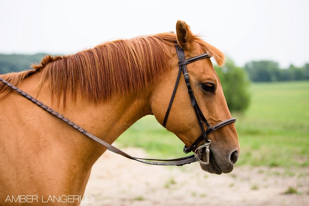 English Horse Detroit Lakes Equine Photographer