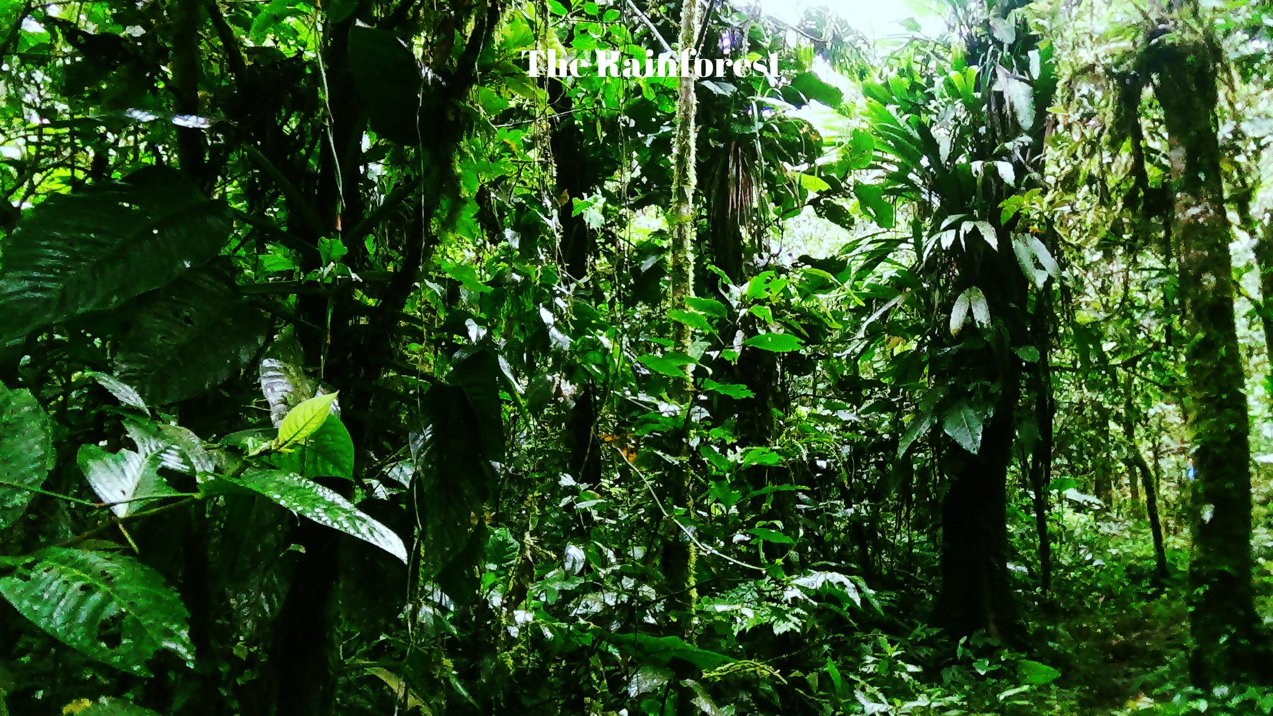 Ecuadorian rainforest Ayahuasca
