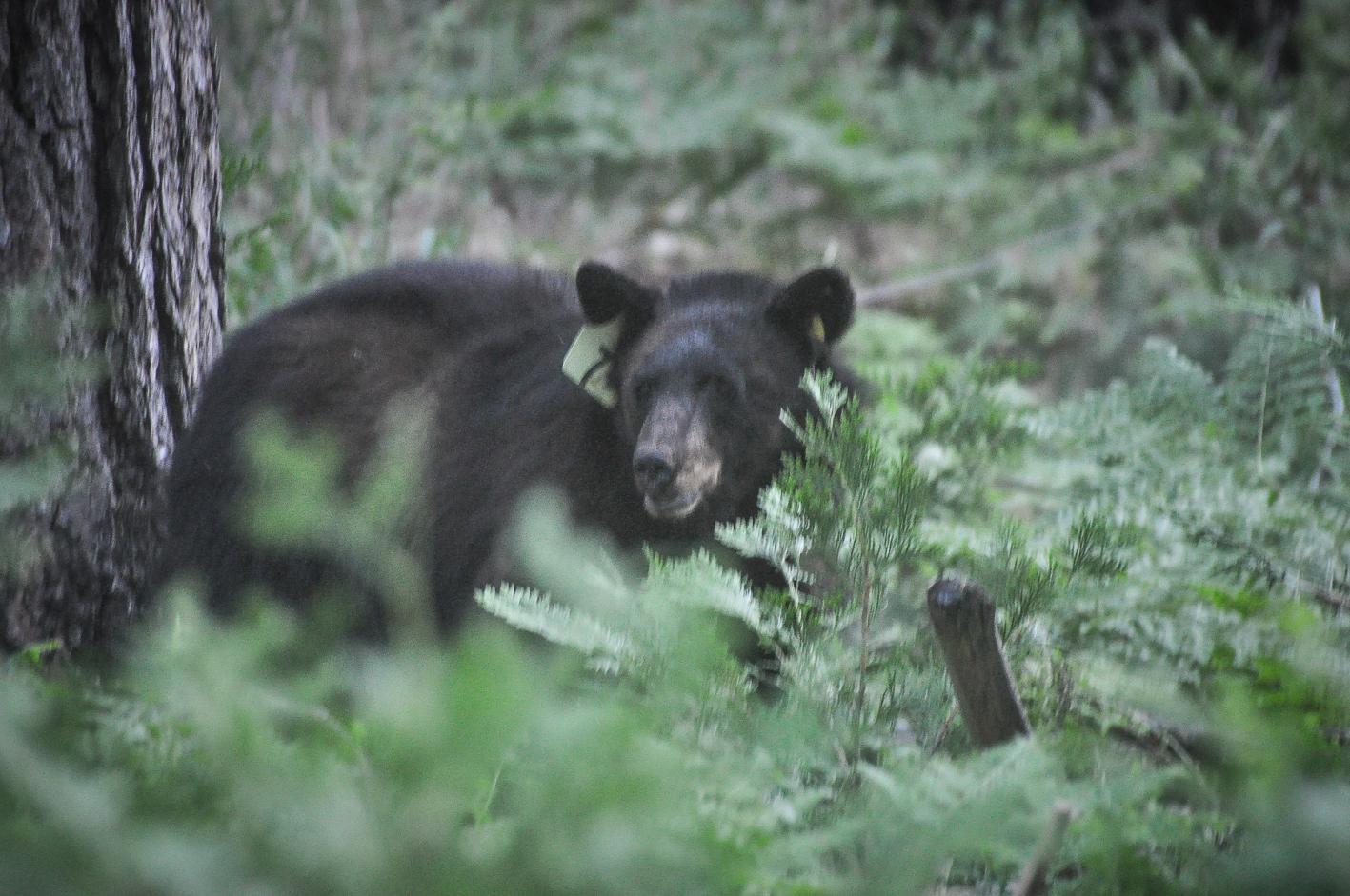 Dentro do Yosemite, vivem vários ursos negros, em geral tímidos. Este tinha uma tag de identificação.