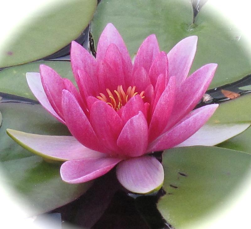 pink lotus-NY