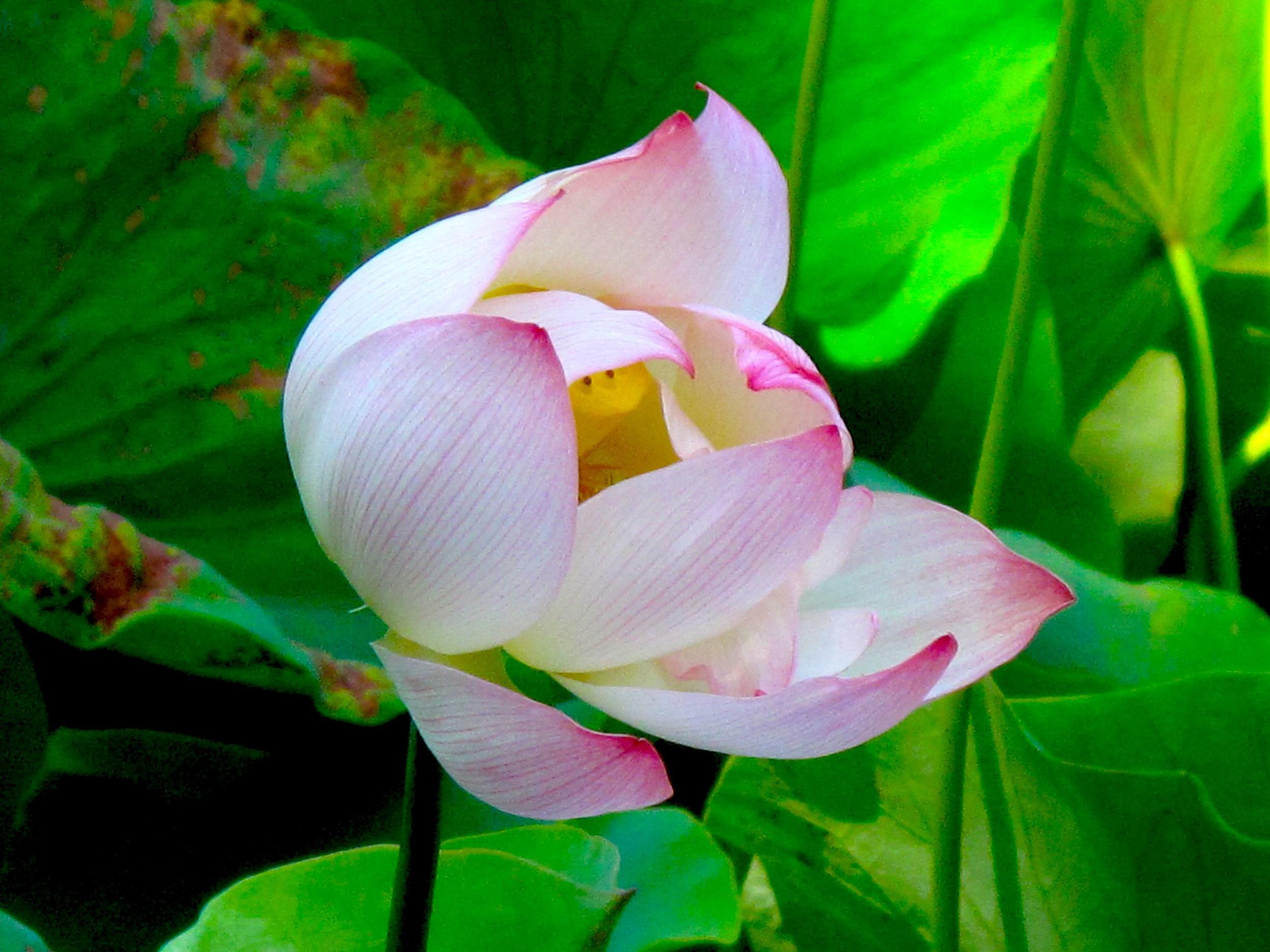 Opening Lotus.jpg