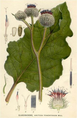 Illustration from Bilder ur Nordens Flora (Public Domain)
