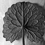 Gotu Kola    Centella asiatica   by David B. Leonard