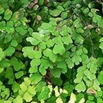 Maidenhair Fern    Adiantum  spp .   by David B. Leonard