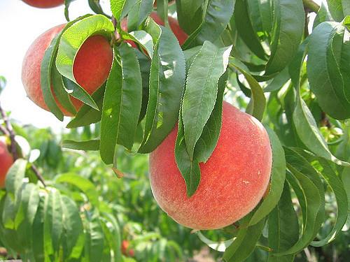 Peach Monograph — HerbRally