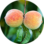 Peach    Prunus persica   by Mel Kasting
