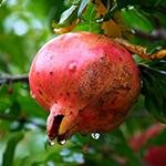 Pomegranate    Punica granatum   by John Uri Lloyd
