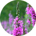 Purple Loosestrife    Lythrum salicaria   by Ruthie Hayes