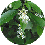 Wild Cherry    Prunus serotina   by jim mcdonald