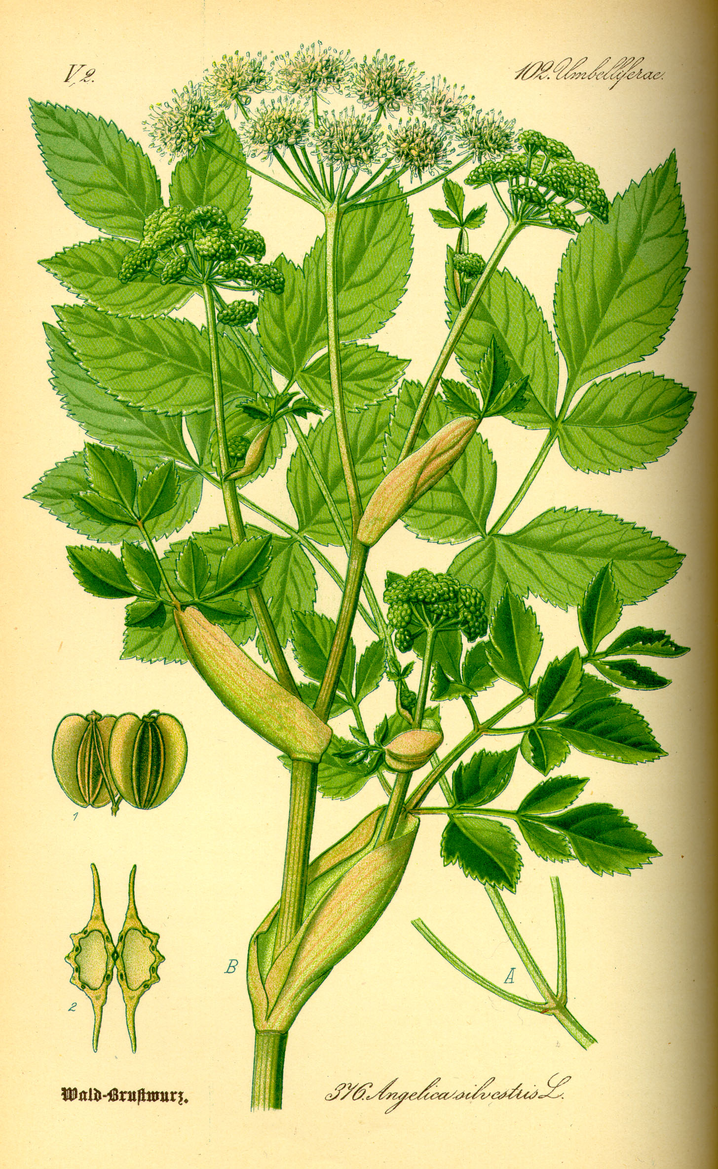 Illustration_Angelica_silvestris0.jpg