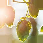 Hops    Humulus lupulus   by Rosalee de la Forêt